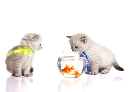 Two little smoky  kittens and two goldfish in aquarium isolated on white photo