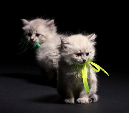 Two little furry smoky  kittens on dark background Stock Photo - 19008315