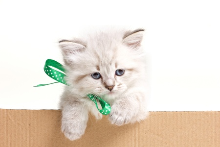 little fluffy kitten look out from carton box on white background photo