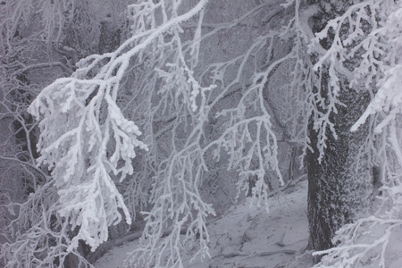 winter  landscape - snow-covered trees on winter wood photo