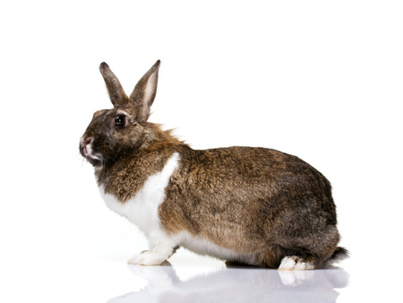 profile portrait of a brown with white spot bunny looking at camera isolated on white photo