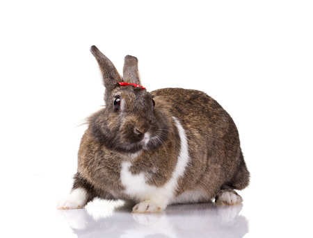 portrait of a bunny with small red bow on white background photo