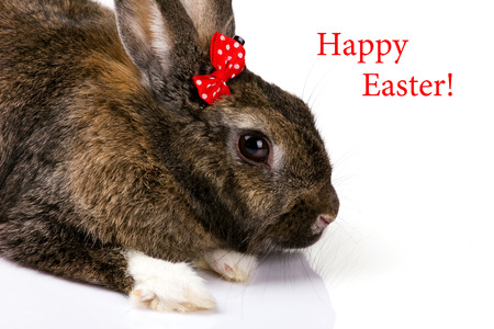 close-up bunny with small red bow on white background   photo