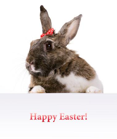 furry animals: marrón peludo con mancha blanca conejito que mira hacia fuera la bandera con deseo Pascua feliz en el fondo blanco