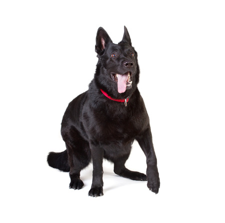 portrait of a adult black german shepherd with red collar isolated on white photo