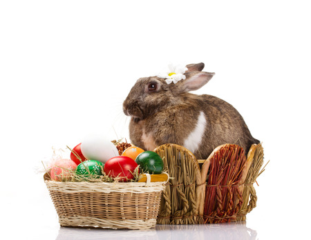 furry brown with white spot bunny in straw nest,  many easter colorful eggs in basket on white background photo