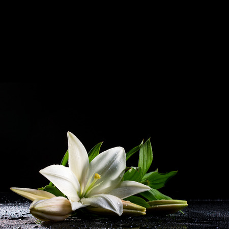 water lilly:  beautiful white freshness lily with buds lying  on reflection table with bright water drop on black background  Stock Photo