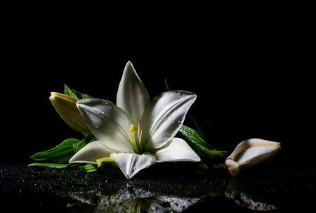 water lilly:  beautiful white freshness lily with buds and  water drop, on black background