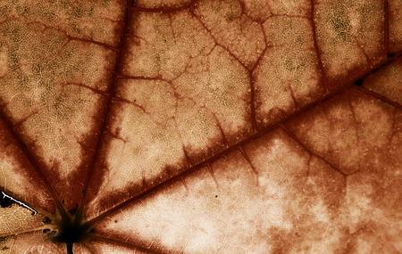 dried leaf: pattern of autumn brown dried maple leaf