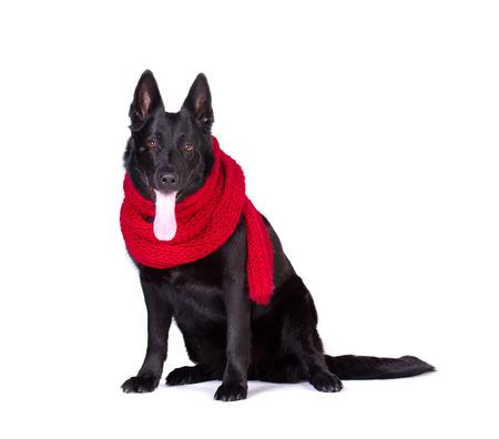 black german shepherd in long red wool muffler isolated on white background photo