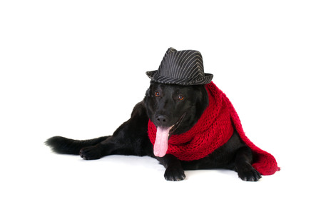 black german shepherd in fashion hat and long red wool muffler isolated on white photo