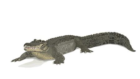 scaly: saltwater crocodile - Crocodylus porosus