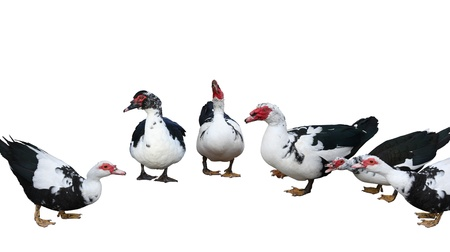 muscovy duck: Muscovy Duck group isolated on white