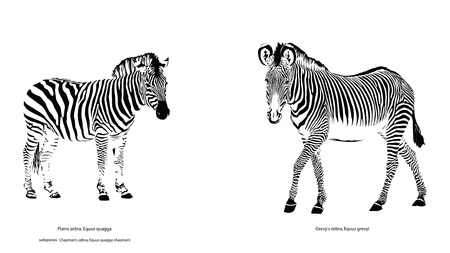 ungulates: Two Different Zebra Species Illustration