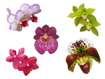 uncommon: Some uncommon orchid flowers isolated on white