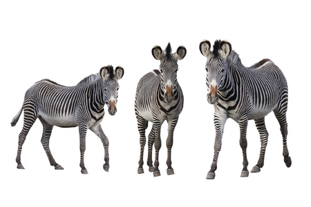 Isolated Gr�vy-zebras on white