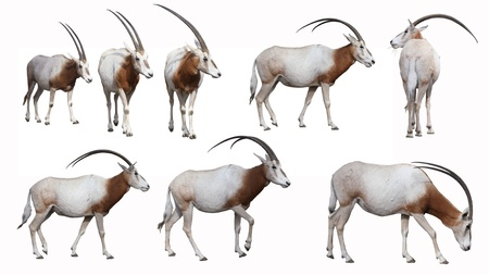 Scimitar-Horned Oryx antelope,  extinct in the wild