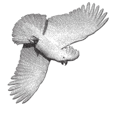 aloft: Cockatoo in flight Illustration