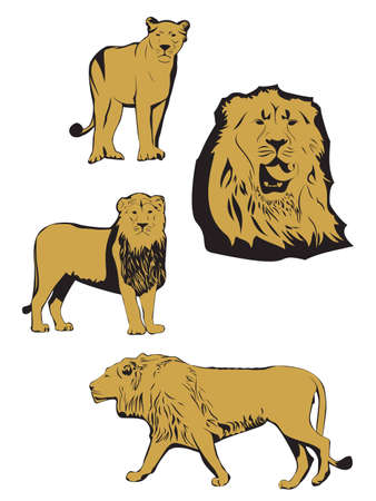 endangered species: Asiatic lion illustration