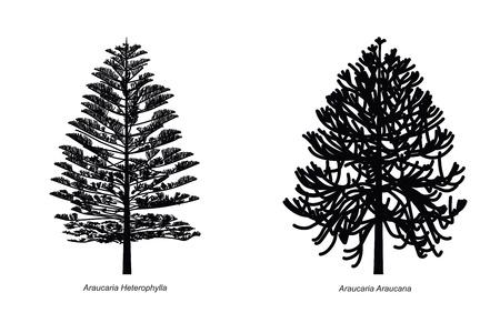 Two Different Araucaria Species Illustration Vector