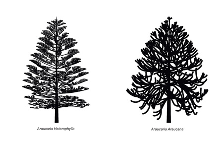 huge tree: Two Different Araucaria Species Illustration Illustration