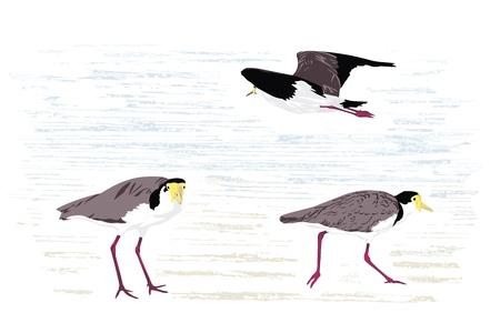 wattle: Masked lapwing (Masked plover), native to Australia; illustration