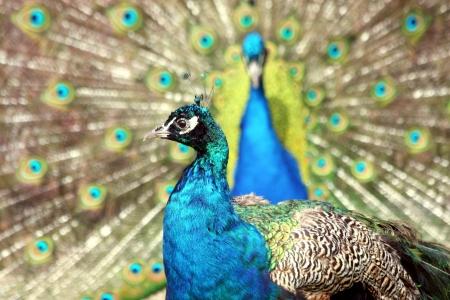 courtship: Two Blue Peacocks