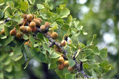 plants species: Fruit Ginkgo Biloba Bearing Branch