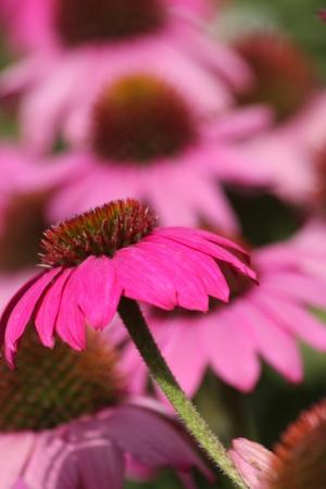 echinacea purpurea: Echinacea purpurea - fioritura pianta erbacea