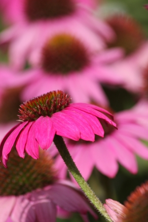 echinacea purpurea: Echinacea purpurea - herbaceous flowering plant