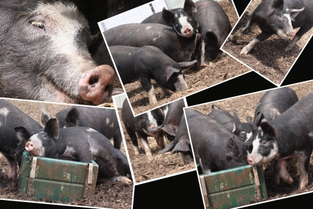berkshire: Pigs Like Life,Photograph compilation of old breed Berkshire pigs