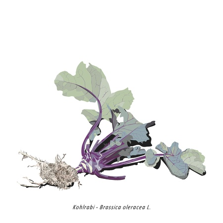 brassica: Illustration of organic kohlrabi tuber with roots and leaves Illustration