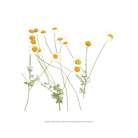 chamomilla: Chamomile flowers illustration on white Illustration