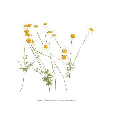 Kamille bloemen illustratie op wit