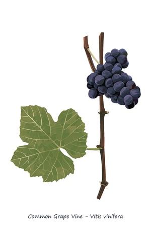 fruit stem: Grape vine shoot with fruit and leaf illustration