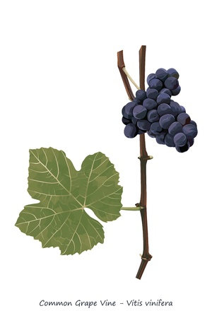vitis: Grape vine shoot with fruit and leaf illustration