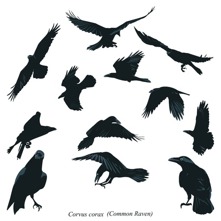 aloft: Common Raven Illustration