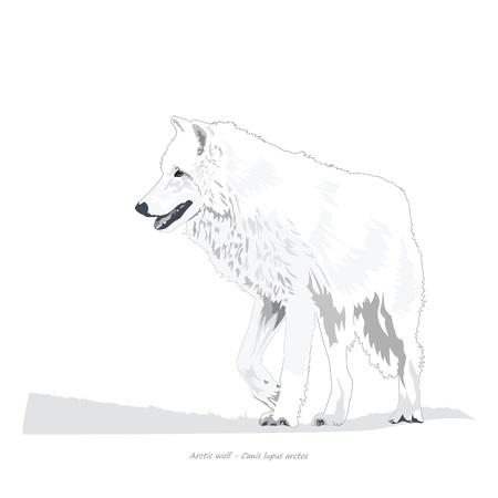 Arctic Wolf Illustratie