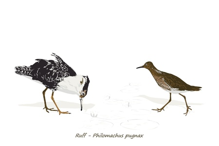 wader: Illustration Of Ruff  male and female