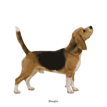 fullbody: Beagle dog breed illustration Illustration