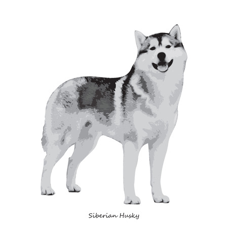 fullbody: Husky dog breed illustration