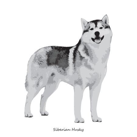 fullbody: Husky dog breed illustration