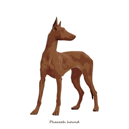 fullbody: Pharaoh hound dog breed illustration