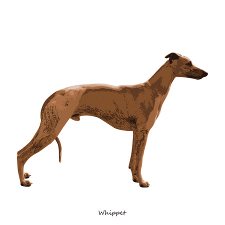 breed: Whippet dog breed illustration