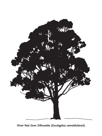 single tree: Eucalyptus camaldulensis or River Red Gum Silhouette