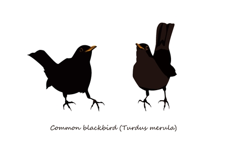 thrush: Blackbird Illustration; male and female Illustration