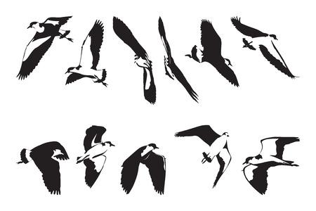 wattle: Flying Masked Lapwing Silhouettes Set Illustration