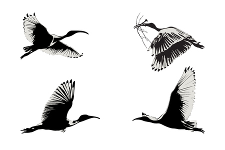 Flying ibis illustration Illustration