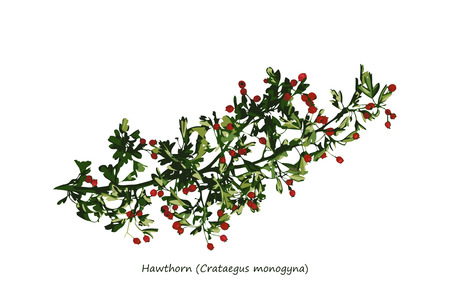 illustration isolated: Hawthorn Branch Illustration