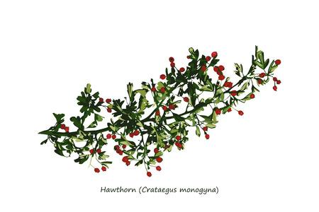 thorn bush: Hawthorn Branch Illustration
